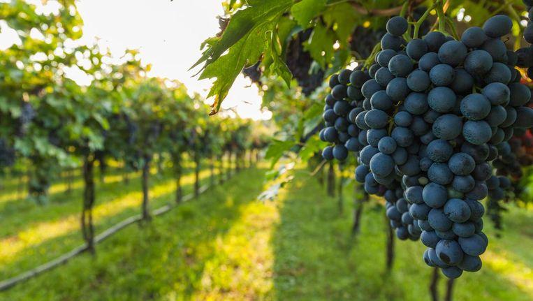 Uiteindelijk gaan je zelf geplukte druiven in een fles mee naar huis Beeld © Shutterstock