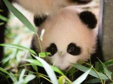 Nieuwe beelden: babypanda Fan Xing oefent met het eten van bamboe