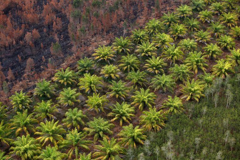 Linksboven verbrand bos bij Banjarmasin in Zuid-Kalimantan, Indonesië, met ernaast de plantage voor palmolie die de stap is na ontbossing. Beeld REUTERS