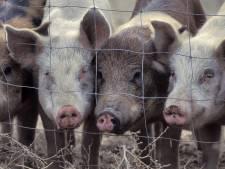 Onrust in Beerzerveld door uitbreidingsplannen varkensstal