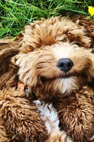 """Wat wil je hond je vertellen? 'Hondenluisteraar' weet raad: """"Blaffen of grommen zijn vaak het gevolg van signalen die te lang zijn genegeerd"""""""