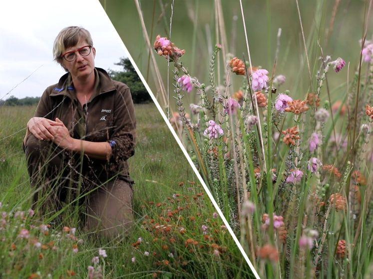 Paarse heide is volop in bloei in het Buurserzand