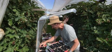 De bramen van Kees rijpen in de tropische zon in Rijswijk: 'Eerst goed kijken, daarna pas oogsten'