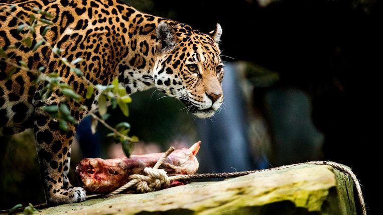 Een jaguar laat zich voor het eerst zien in zijn nieuwe verblijf. Beeld anp
