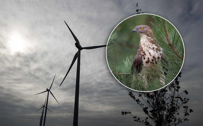 Dankzij de wespendief komen er misschien geen windmolens in De Bilt.