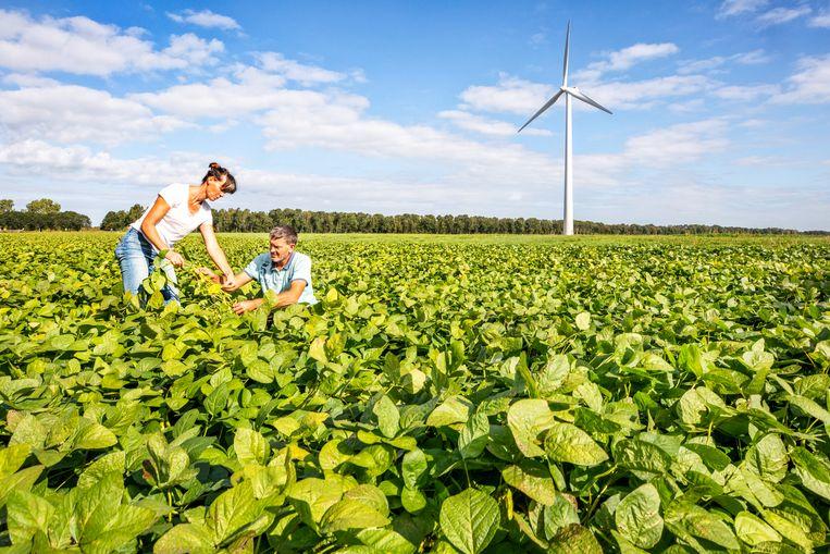Mariette Romme bekijkt samen met haar partner de kwaliteit van de Soja bonen op hun veld in Zeewolde.  Beeld Raymond Rutting / de Volkskrant