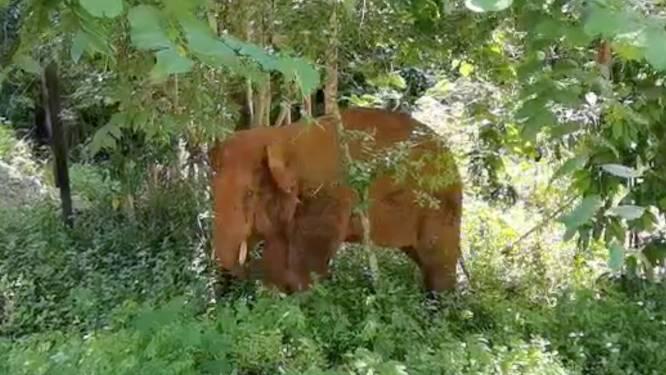 Losgeslagen kudde olifanten China: eenzame stier gevangen en teruggebracht naar reservaat