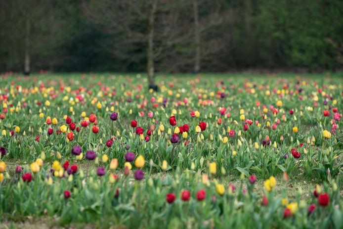 De Tulpenweide in Berendrecht.
