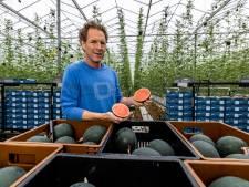 Westlandse watermeloen, terug van weggeweest door tomatentelers uit Kwintsheul