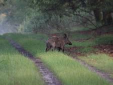 Afrikaanse varkenspest in België zet Nederlandse natuurbeheerders en varkenssector op scherp