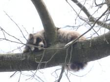 Wasbeer slaapt nog steeds z'n roes uit in boom: 'Hier zijn we niet blij mee'