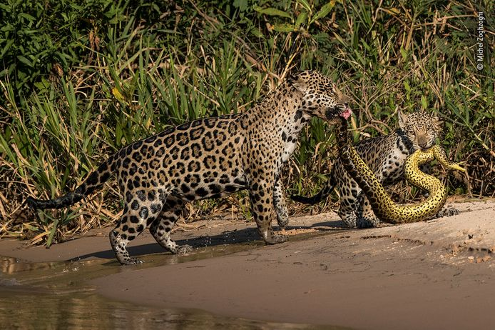 © Michel Zoghzoghi - Wildlife Photographer of the Year - top 5