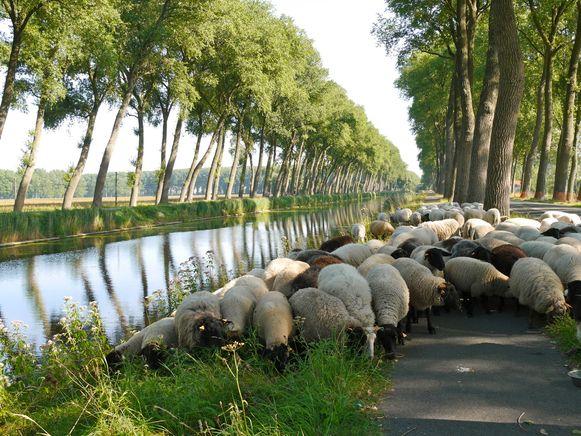 Een kudde schapen begraast de berm.