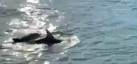 Deux dauphins nagent en plein cœur de Venise