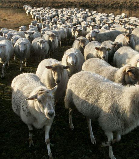 Kempische heideschapen 'maaien' Laarbeekse natuurgebieden; ondersteuning voor buren vermoorde textieltopman en dwangsom voor illegale huisvesting arbeidsmigranten Mariahout