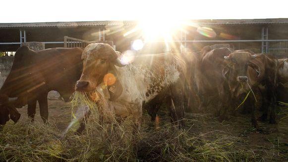 Een schuilplaats voor koeien in het Indiase Bhiwandi. Er zijn zo'n 25.000 schuilplaatsen voor koeien in India, waar ze veilig zijn voor illegale slachtingen.