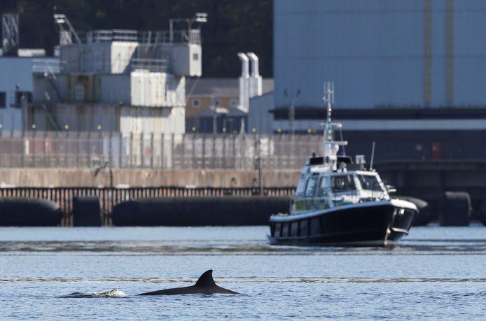 L'exercice a suscité l'inquiétude pour les cétacés, sensibles aux sons subaquatiques. La baleine à bec commune, qui ressemble à un grand dauphin avec une tête bombée, se tient généralement loin des eaux côtières, préférant les eaux profondes à l'ouest du Royaume-Uni et de l'Irlande.