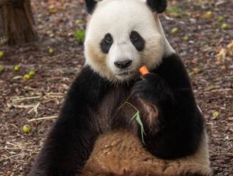 Reuzenpanda Tian Bao mag langer in Pairi Daiza blijven