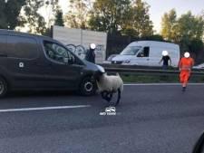 """Un mouton photographié sur l'autoroute en ce premier jour de l'Aïd: """"Il tente d'échapper à son destin"""""""