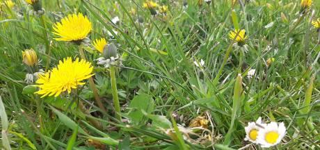 Meer bloemen in grasvelden van Borsele door minder maaien