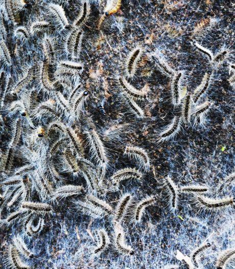De Bilt is klaar voor de strijd met jeukmonster: aaltjes moeten eikenprocessierups opvreten