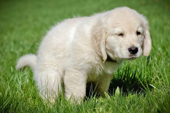 Een retriever-pup. Het gaat vermoedelijk om dit ras bij de gedumpte hondjes.