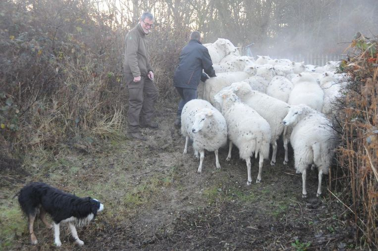 De schapen verhuizen van het Zwin naar de Kleyne Vlakte.