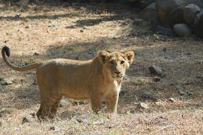 Foto ter illustratie. Dit is niet de leeuw in kwestie.