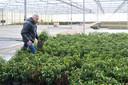 Kweker Jan Mouws heeft chemische bestrijdingsmiddelen in de ban gedaan. ,,In ons bedrijf zijn we gaan denken in leven.''
