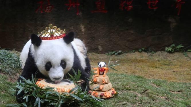 Oudste panda ter wereld (37) gestorven
