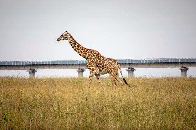 'Giraffes zijn schuw en denken dat hun leefgebied stopt bij het spoor', zegt milieuwetenschapper John Musingi. 'In feite zitten we nu met twee kleine parken.'  Beeld Sven Torfinn