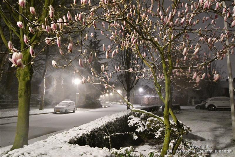 Sneeuw op de avond van Tweede Paasdag. Een bloeiende magnolia in de sneeuw in Oldenzaal.