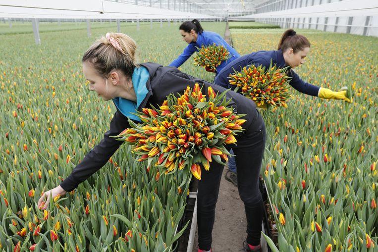 Medewerkers bij een tulpenteler. De tulpenproductie overschrijdt dit jaar naar verwachting voor het eerst de grens van 2 miljard tulpen. Beeld ANP