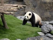 Les pandas, ces poissons