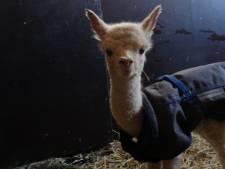 Alpaca-baby geboren in Plaswijckpark