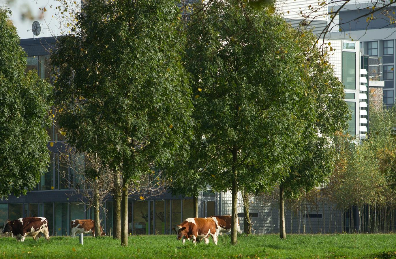 Koeien grazen bij de High Tech Campus in Eindhoven.