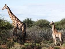 La découverte d'une girafe naine en Ouganda surprend les scientifiques