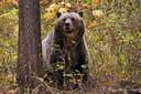 Een grizzlybeer in de omgeving van Camas in het noordwesten van Montana.