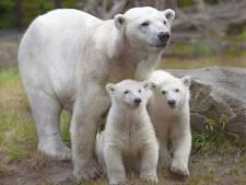 Wild spelen met haar grote zus werd ijsbeertje Yura in Ouwehands Dierenpark waarschijnlijk fataal