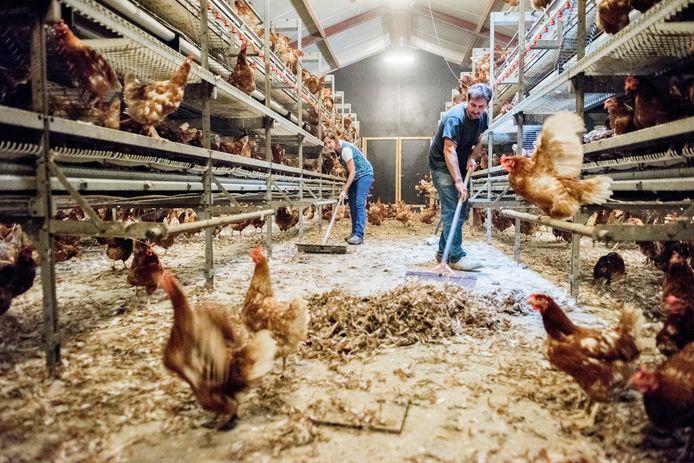 Kippenboeren maken de 'stallen schoon' in 2017 in verband met de fipronil-affaire.