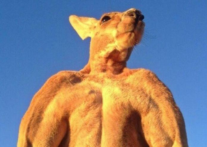 Een volgroeide mannelijke kangoeroe kan erg intimiderend zijn.