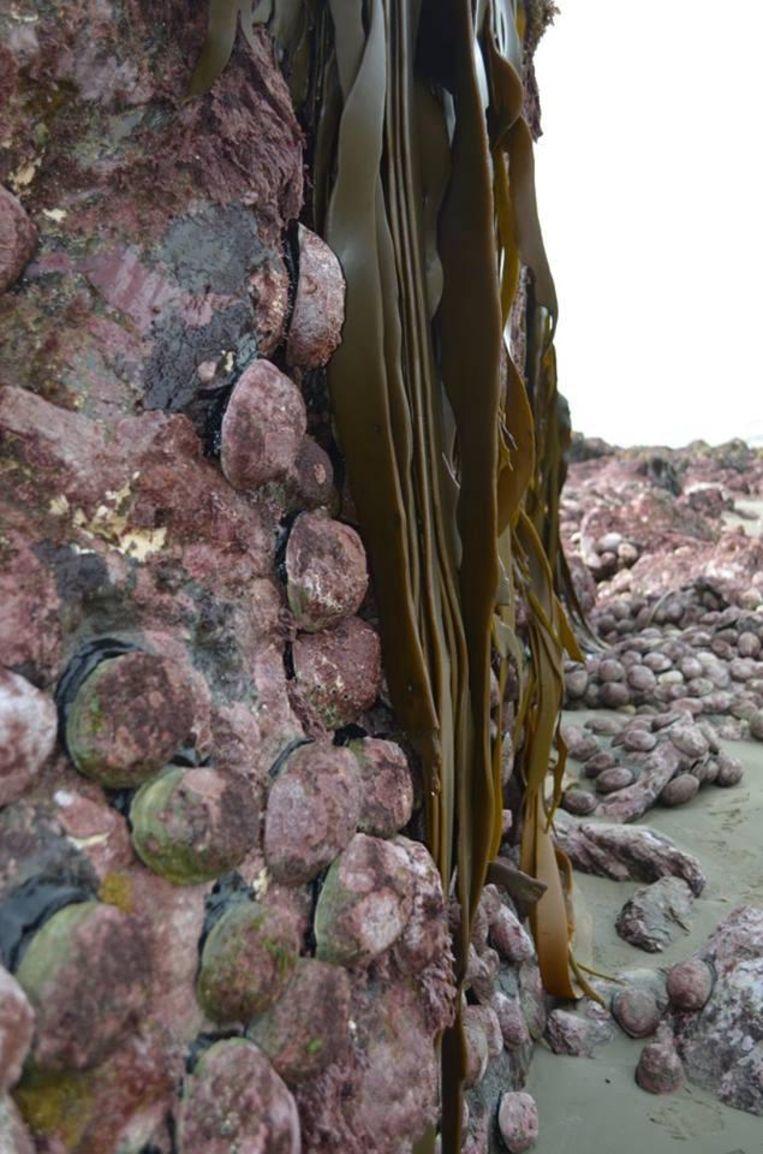 De zeeoren kunnen niet overleven buiten de oceaan. Beeld Anna Redmond/Facebook