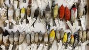 """Studie: """"Vogels worden kleiner door de opwarming van de aarde"""""""