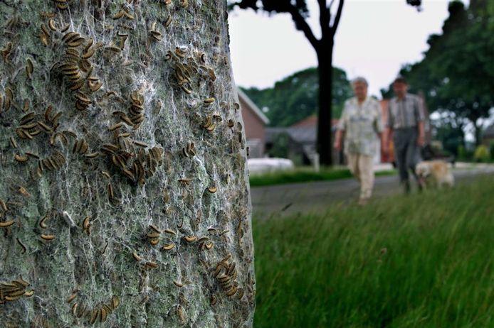 Baasjes lopen tijdens het uitlaten van hun hond richting een boom waar de eikenprocessierups op zit.