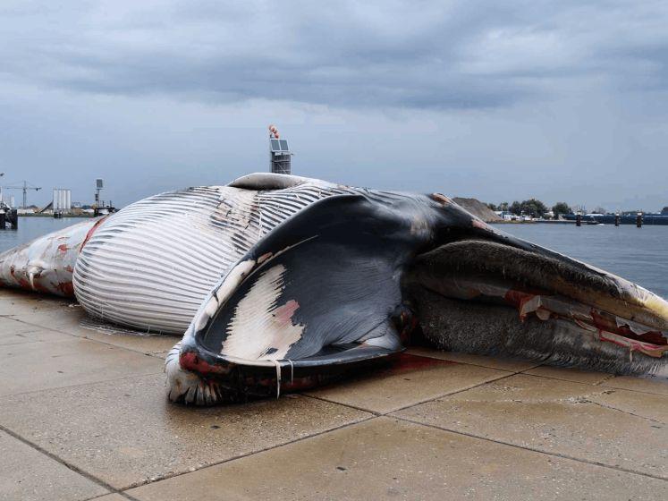 15 meter lange walvis aangetroffen in sluis Terneuzen