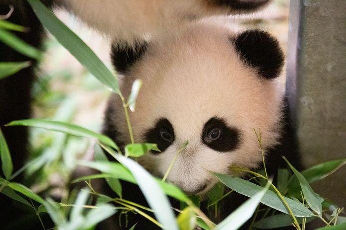 Fan Xing is inmiddels bijna zes maanden oud.