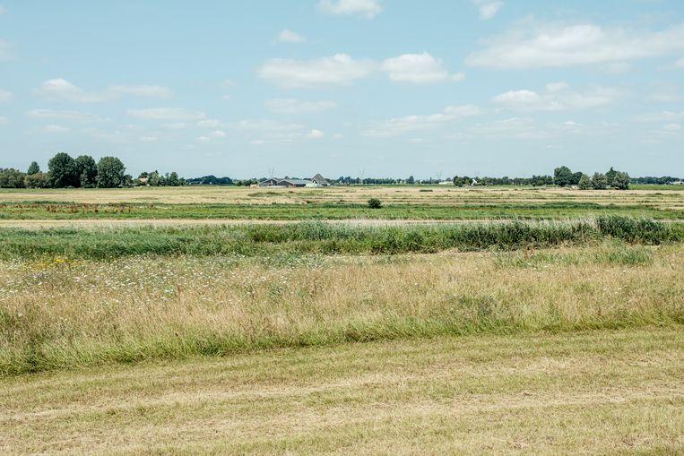 Lisdodden worden geteeld in de Burkmeer. Beeld Jakob van Vliet