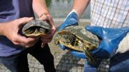 Brussel zit vol (verboden) schildpadden