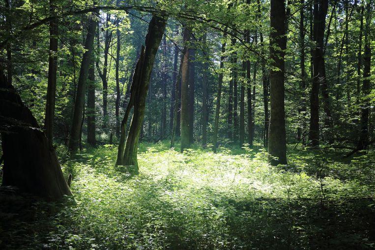 Het oerbos van Bialowieza in Polen. Beeld thinkstock