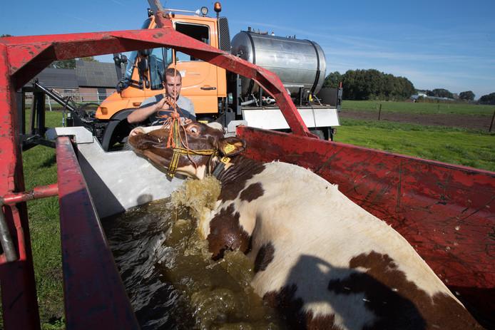 Frank Timmerman geeft een koe een bad.